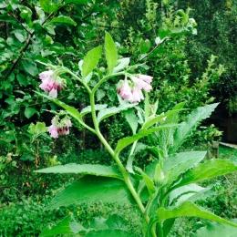 Heilpflanzen Beinwell Wildkraeuter sammeln und verarbeiten